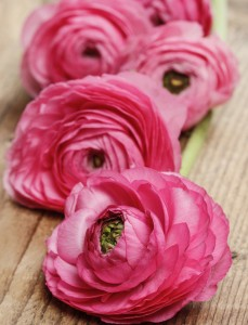 Pink persian buttercup flower (ranunculus) on wooden background.